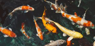 דגים כשרים